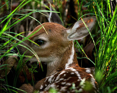 Photograph - Waiting Fawn by Michael Dougherty