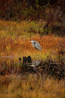 Photograph - Blue Heron Waiting For Breakfast by Jeff Folger