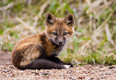 Fox Kit Photograph - Waiting For Mom by Mindy Musick King