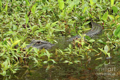 Photograph - Waiting Gator by Carol Groenen