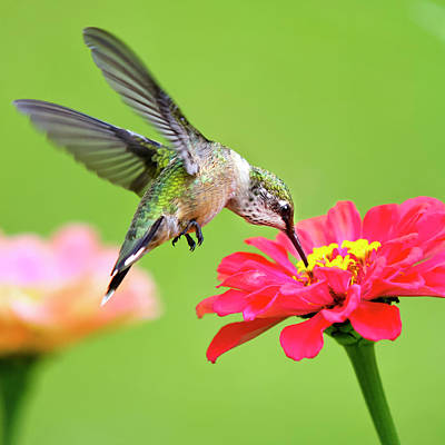 Florals Photos - Waiting in the Wings Hummingbird Square by Christina Rollo