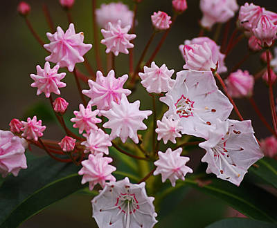 Mountain Laurel Photograph - Waiting To Burst by Randy Bodkins