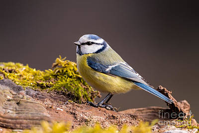 Blue Tit Photograph - Waiting by Torbjorn Swenelius