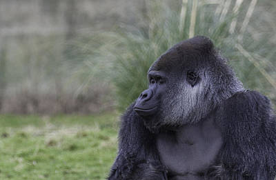 Gorilla Photograph - Wake Up Smell The Coffee by Nigel Jones