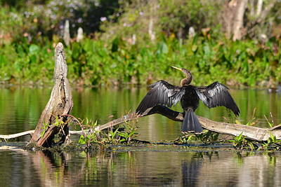 Photograph - Wakulla Springs Anhinga by Carla Parris