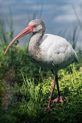 Ibis Photograph - Walk On The Wild Side  by Saija Lehtonen
