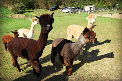 Photograph - Walk With Alpacas by Kathy M Krause