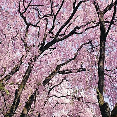Florals Photograph - Walking Beneath Giant Cherry Blossom by Margaret Goodwin