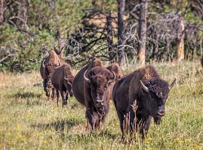 Photograph - Walking Buffalo Herd by Ray Van Gundy