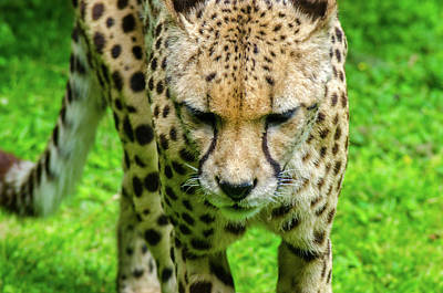 Photograph - Walking Cheeta by Rainer Kersten