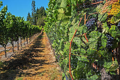 Photograph - Walking Down The Vineyard Sebastopol Ca by Toby McGuire