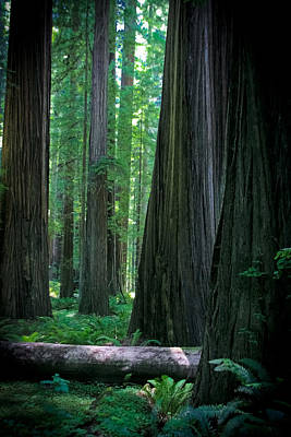 Photograph - Walking In The Redwoods by Jonathan Hansen
