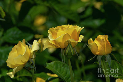 Photograph - Walking On Sunshine Rose 1 by Glenn Franco Simmons