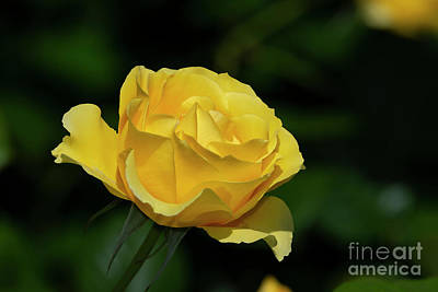 Photograph - Walking On Sunshine Rose 2 by Glenn Franco Simmons