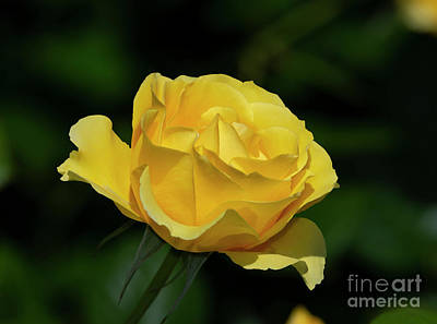 Photograph - Walking On Sunshine Rose 3 by Glenn Franco Simmons