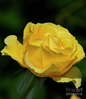 Photograph - Walking On Sunshine Rose 4 by Glenn Franco Simmons