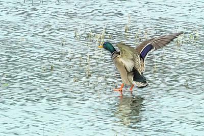 Photograph - Walking On Water by Belinda Greb