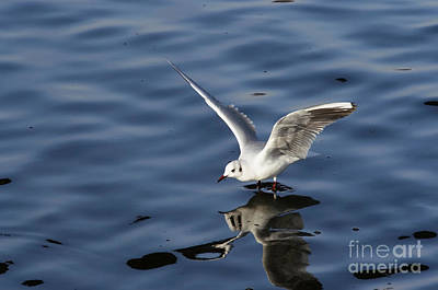 Lapwing Wall Art - Photograph - Walking On Water by Michal Boubin