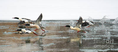 Common Merganser Wall Art - Photograph - Walking On Water by Mike Dawson