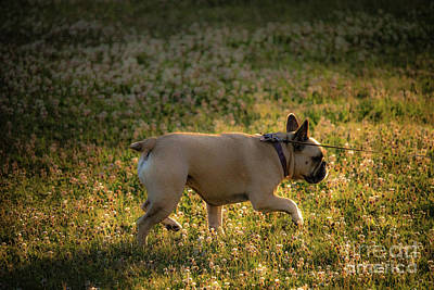French Bull Dog Wall Art - Photograph - Walking Roxy Dog by Carl Therriault