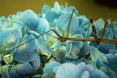 Photograph - Walking Stick Browsing A Hydrangea by Douglas Barnett