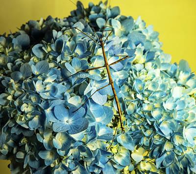 Photograph - Walking Stick On Hydrangea by Douglas Barnett