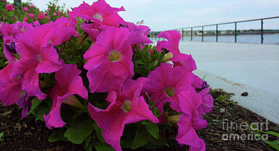Photograph - Walkway Petunias by Ruth H Curtis