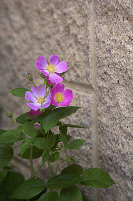 Photograph - Wall Flower - Wild Rose by Jane Eleanor Nicholas