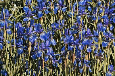 Photograph - Wall Of Irises by Photography by Tiwago
