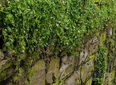 Photograph - Wall Of Ivy by Jennifer White