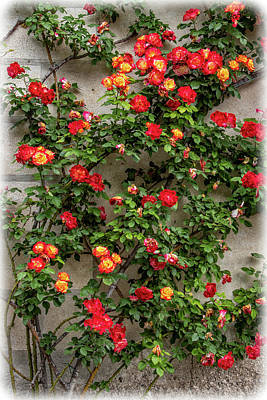 Photograph - Wall Of Roses by Carolyn Derstine