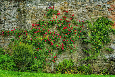 Photograph - Wall Of Roses Spiez Switzerland_dsc8433_16 by Greg Kluempers