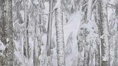 Photograph - Wall Of Snowy Trees by Adam Gibbs