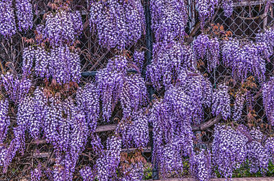 Photograph - Wall Of Wisteria by Connie Cooper-Edwards