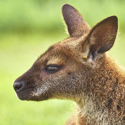 Kangaroo Wall Art - Photograph - Wallaby by Jim Hughes