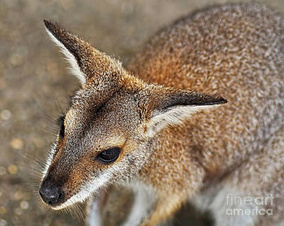 Marsupial Photograph - Wallaby Portrait by Kaye Menner