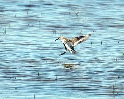 Photograph - Willet Landing On Lake by William Bitman