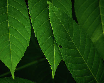 Photograph - Walnut Leaves by Jeff Phillippi