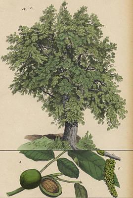 Walnut Tree And Fruit Art Print