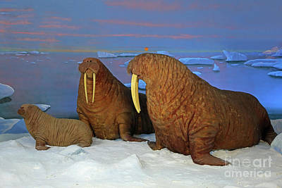 Photograph - Walrus Diorama by Kevin McCarthy