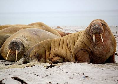 Sea Animals Photograph - Walrus Family by Happy Home Artistry