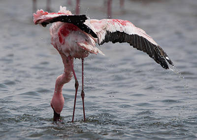 Photograph - Walvis Bay Flamingo by Ernie Echols
