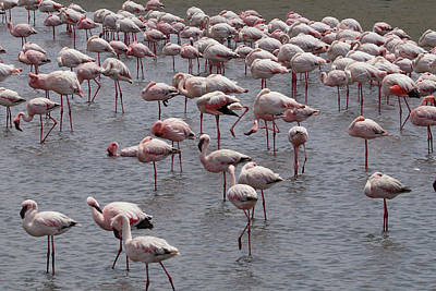 Photograph - Walvis Bay Flamingos 2 by Ernie Echols
