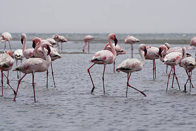 Photograph - Walvis Bay Flamingos 3 by Ernie Echols