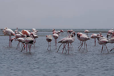 Photograph - Walvis Bay Flamingos 4 by Ernie Echols