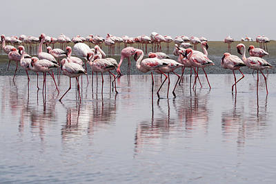 Photograph - Walvis Bay Flamingos 5 by Ernie Echols