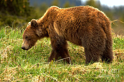 Photograph - Wandering Banff Grizzly by Adam Jewell