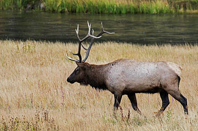 Photograph - Wandering Elk by Scott Read