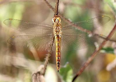 Photograph - Wandering Glider by David Pickett