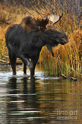 Moose In Water Photograph - Wandering Through The Marsh by Adam Jewell